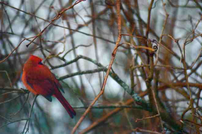 CARDINAL IN BUSH copy